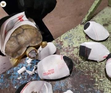 Iban envueltas en calcetas, rescatan tortugas en el aeropuerto de SLP