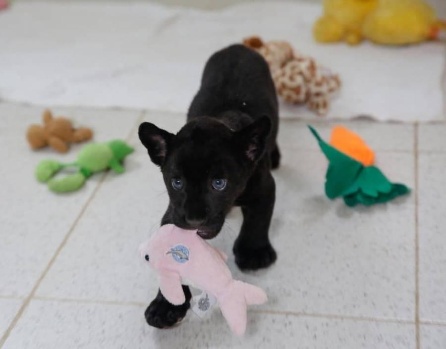 En Zoológico de Merida abren convocatoria para nombrar a cachorro jaguar