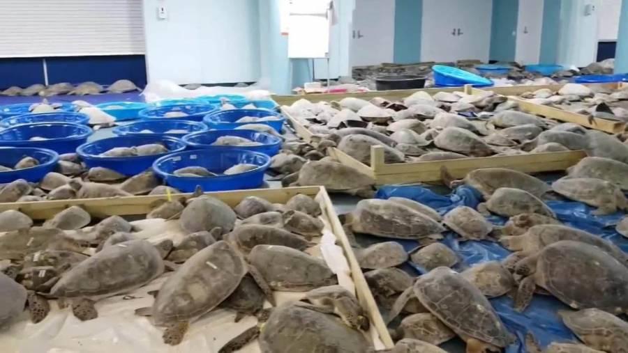 Tortugas marinas son rescatadas frente a la costa de Texas