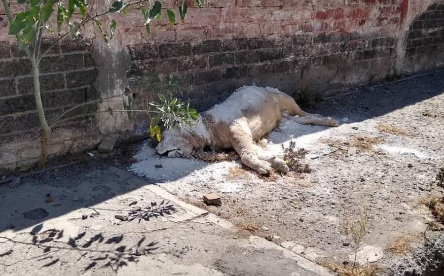 Abandonan a un león africano en Iztapalapa