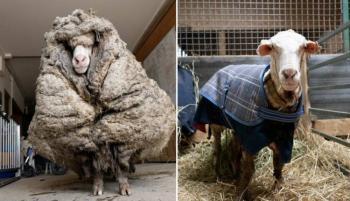 Encuentran en Australia una oveja de 35 kilos, cubierta de lana