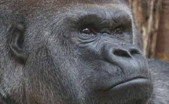 Vacunan contra Covid-19 a simios en zoológico de San Diego, California