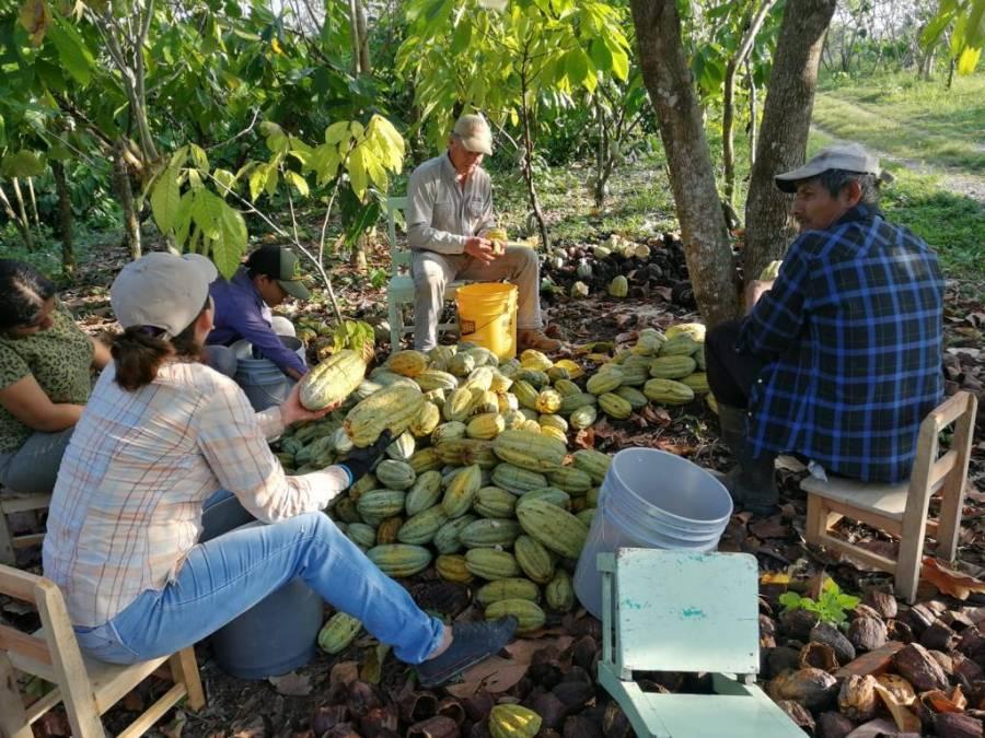 """Crean marca """"La Chiapasteña"""" para rescatar producción del cacao mexicano"""