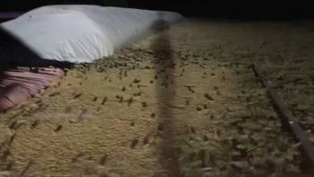 Video: La mayor plaga de ratones en Australia