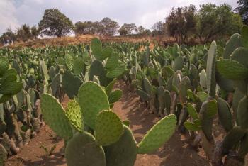 Impulsarán Agricultura y productores de nopal, valor agregado en cadena productiva