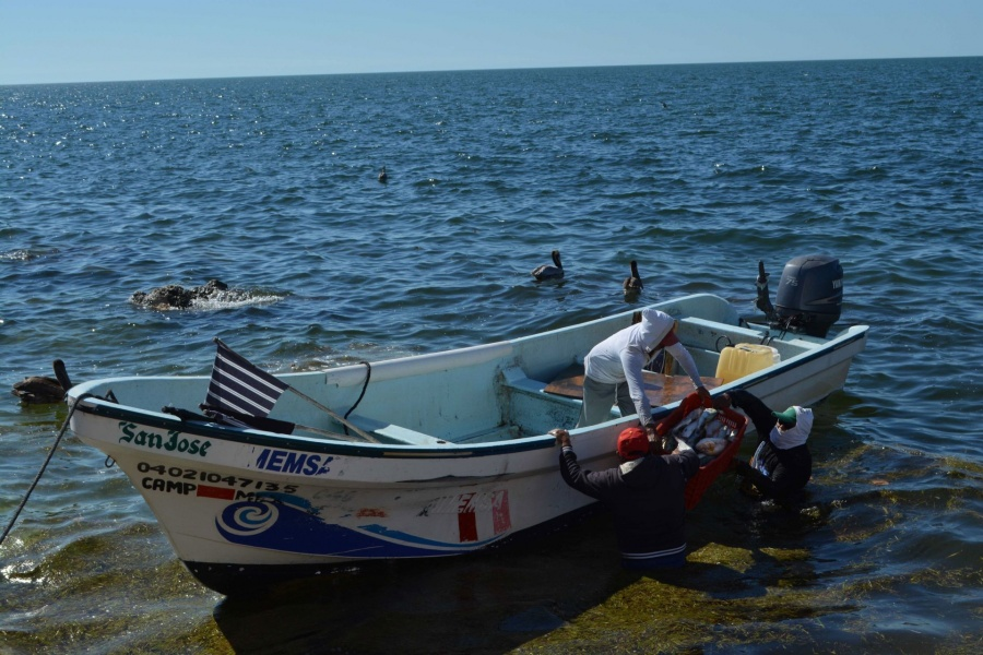 Inicia el 1 de abril captura de mero en Golfo de México y mar Caribe
