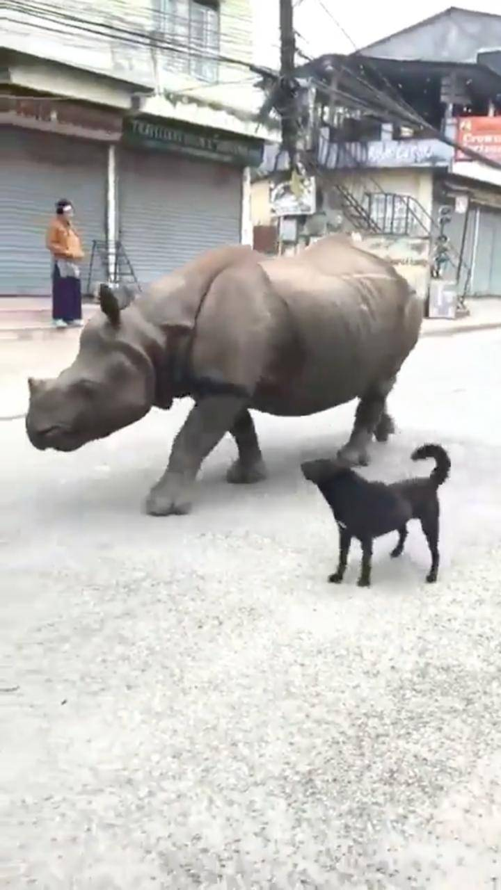 Junto a un lomito, rinoceronte se pasea por las calles de Nepal