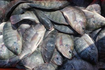 Siembran 30 mil crías de tilapia en nueve granjas acuícolas en Michoacán