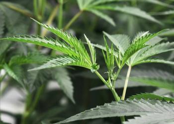 Nueva York aprueba ley que legaliza uso recreativo de la marihuana