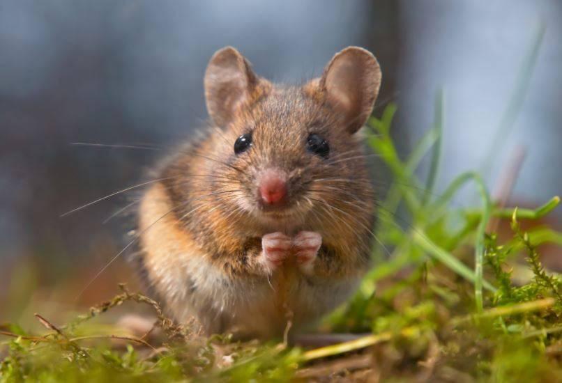 Variantes brasileña y sudafricana de COVID-19 pueden infectar ratones