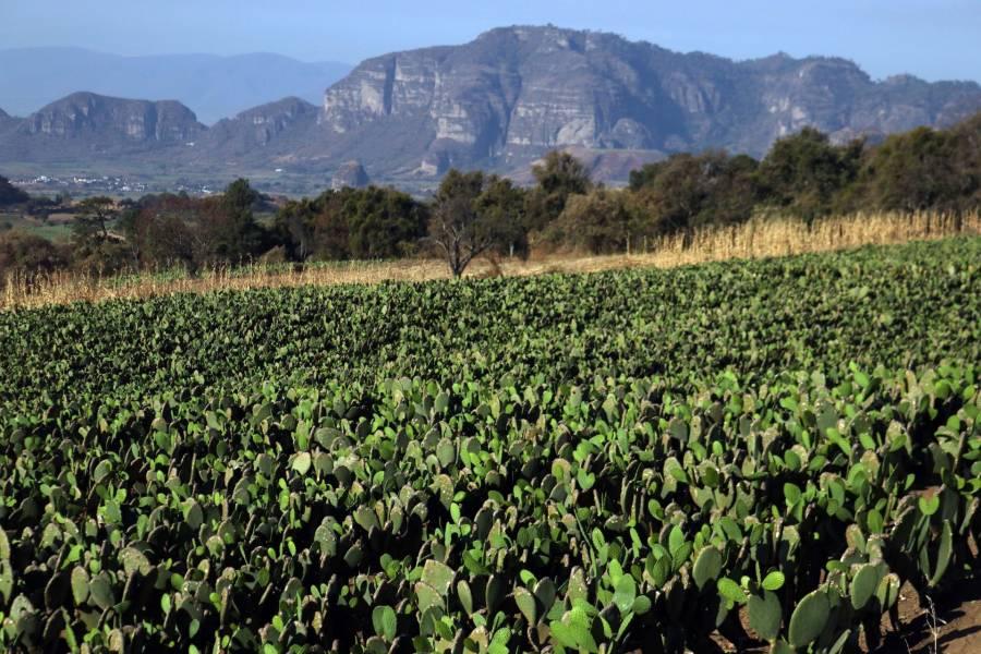 El nopal mexicano se ve amenazado por la palomilla sudamericana