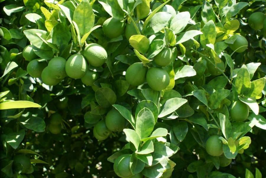 Desarrolla la Secretaria de Agricultura una nueva variedad de limón
