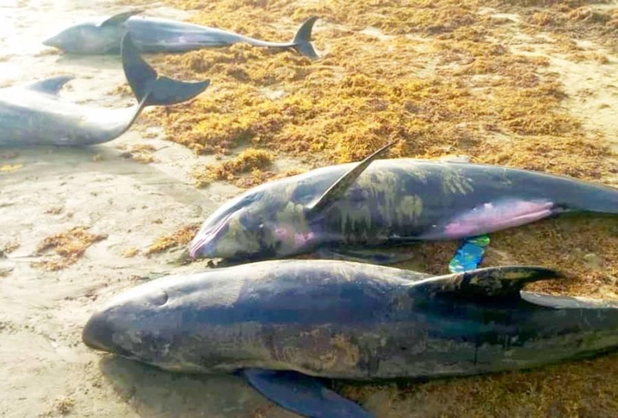 Encuentran decenas de delfines muertos en las playas de Ghana