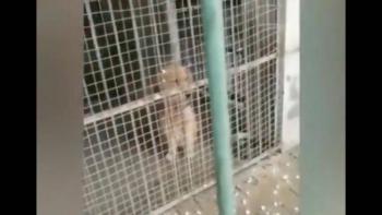 Video: ¿Es un perro o un león? Zoológico se vuelve viral