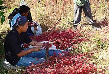 Desarrollan variedades mejoradas de flor de Jamaica en beneficio de productores