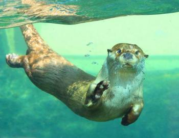 Nutrias de un acuario en EEUU dan positivo a COVID-19