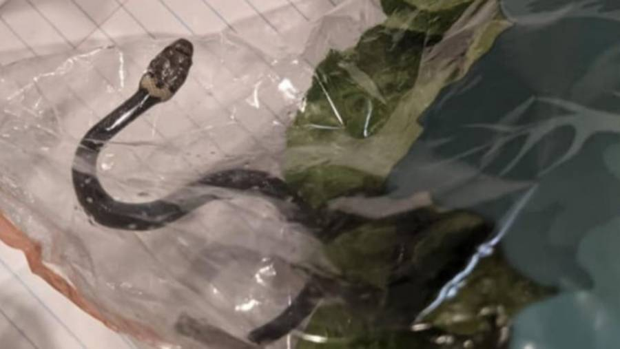 Compraron una lechuga pero… ¡Incluía una serpiente venenosa!