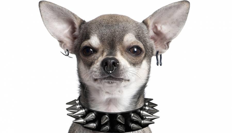 Prohíben hacer tatuajes y piercings con fines estéticos a mascotas en CDMX