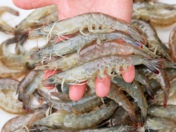 Pública Agricultura fechas y zonas de veda de camarón del Golfo de México y Mar Caribe