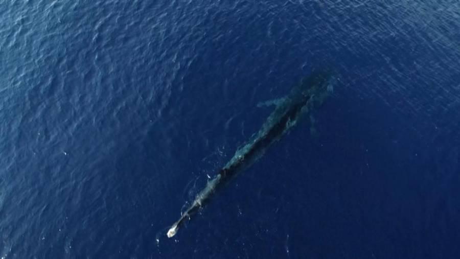 Ballena gris extraviada aparece en el Mediterráneo francés
