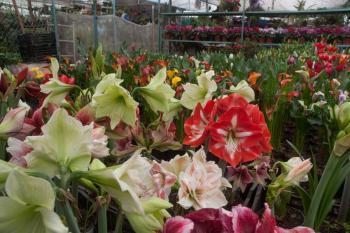 Garantizan producción nacional de flores para los festejos del Día de la Madre