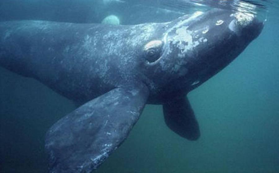 Dron capta abrazo entre dos ballenas en peligro de extinción