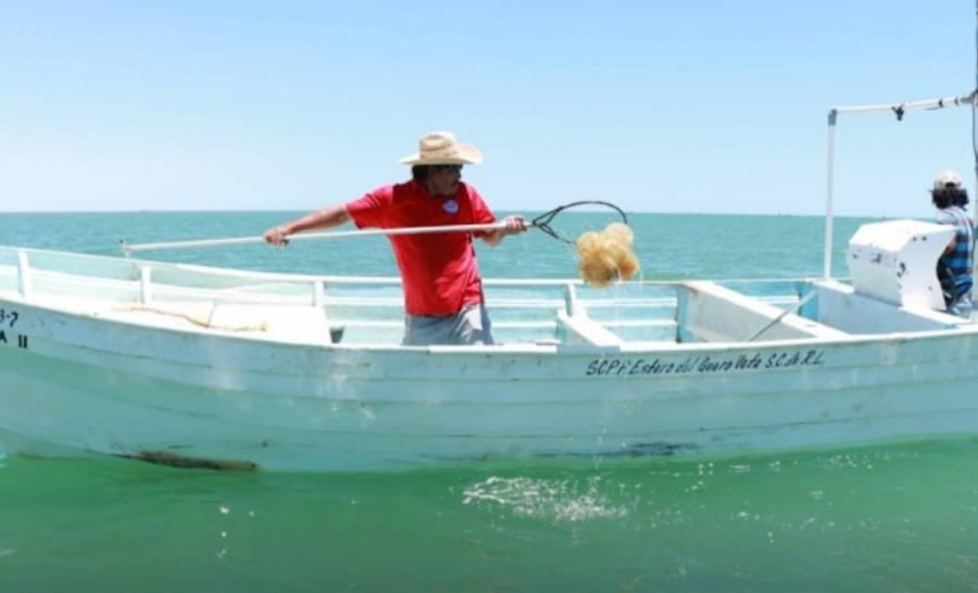 Conapesca y Cofepris, buscan certificación de plantas procesadoras de medusa bola de cañón