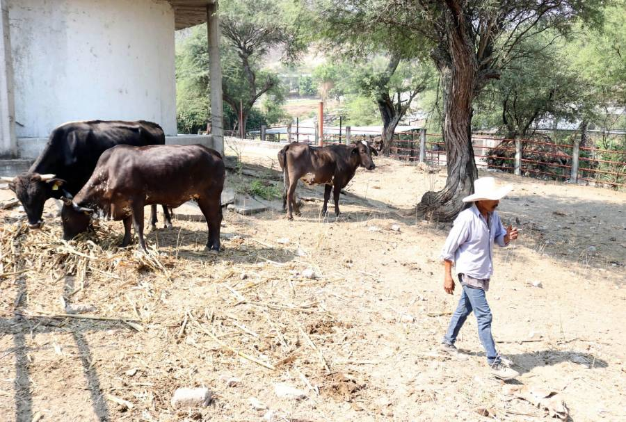 Fortalecerán exportación de ganado bovino a EEEUU
