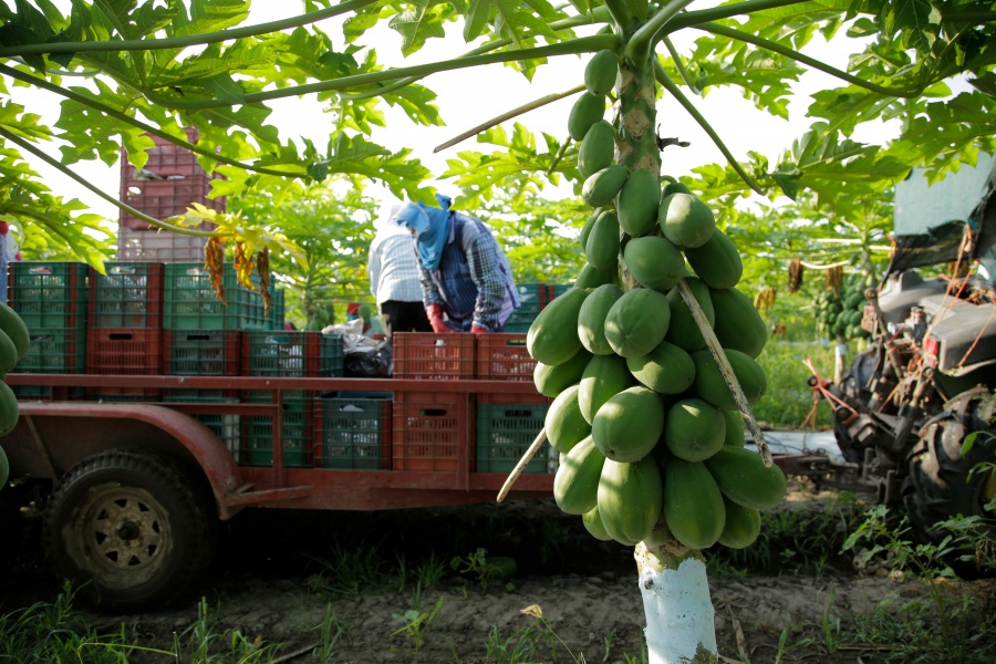 México, principal exportador de papaya en el mundo: Agricultura
