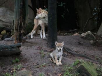 Nace camada de lobos mexicanos en el Zoológico de Chapultepec
