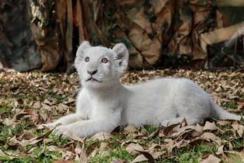 Leona fallece en zoológico de la India por Covid-19; reportan más animales contagiados