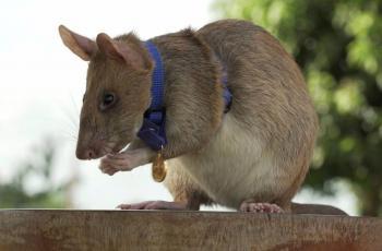 Rata experta en detectar minas se 'jubila'