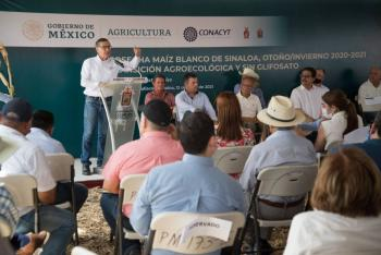 Cosechan en Sinaloa, maíz blanco con transición agroecológica y sin glifosato