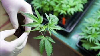 SCJN discutirá quitar candados a cannabis el 28 de junio
