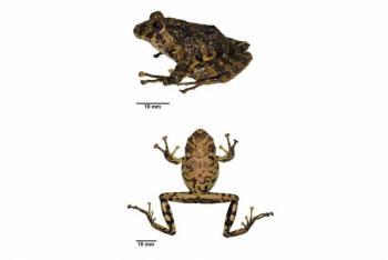 En homenaje a Led Zeppelin, nombran a una rana con su nombre
