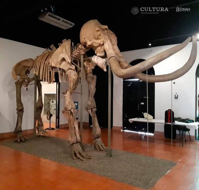 """""""Mamut de Ecatepec"""" es exhibido en Museo de Antropología e Historia de Toluca"""