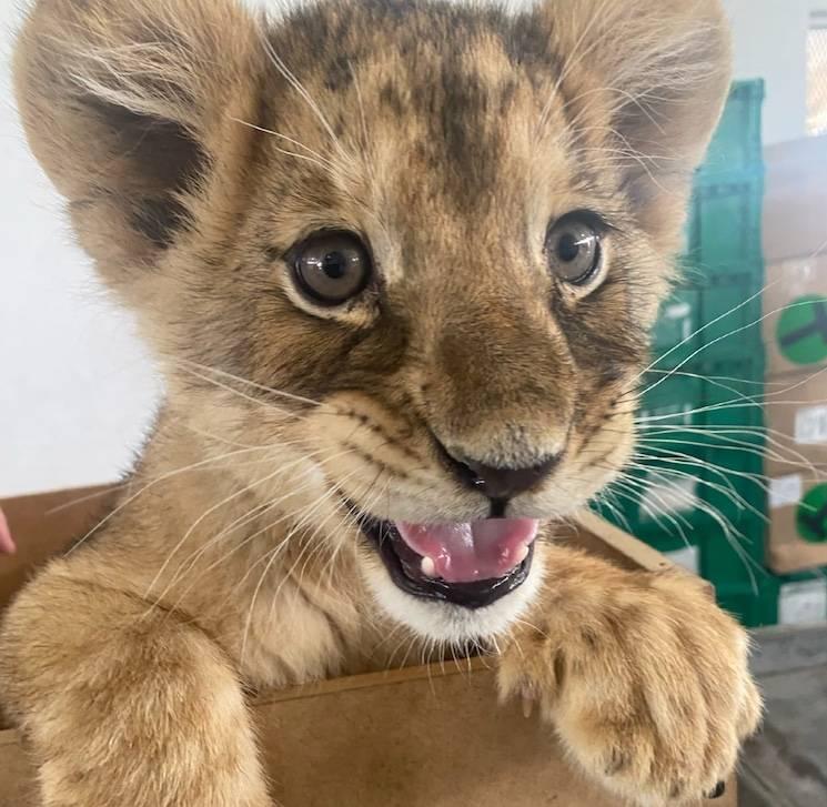 Guardia Nacional asegura a cachorra de león africano en aeropuerto de Ciudad Juárez