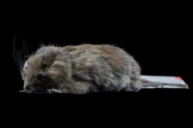 En Australia encuentran ratón que se creía extinto desde hace más de 150 años