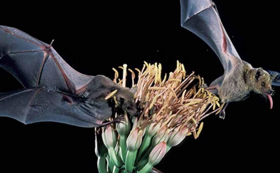 Murciélagos tienen funciones importantes en el sector mezcalero: Investigadores