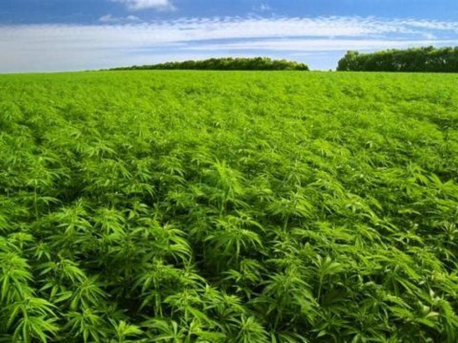 Hace 12,000 años, el cannabis empezó a cultivarse en China: Estudio