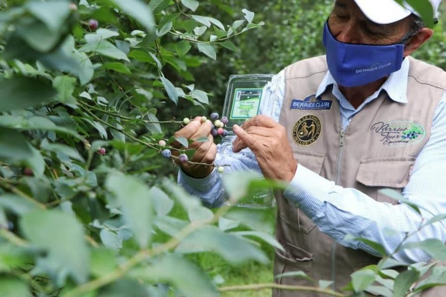 Berries mexicanas, el caso de éxito de Puebla