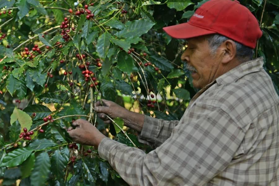 Las exportaciones de café mexicano aumentaron 28.2%