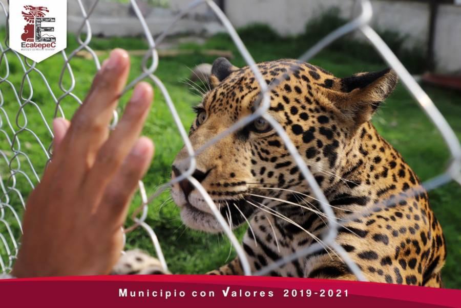 Ecatepec: Inauguran hábitat que preservará al jaguar mexicano