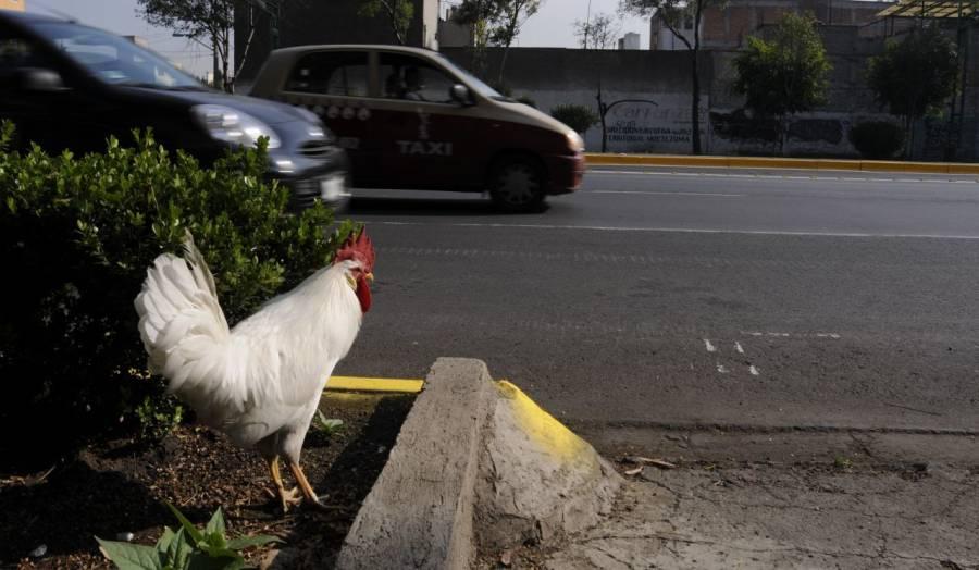 """Así hace el traductor de Google al escribir """"gallo"""""""