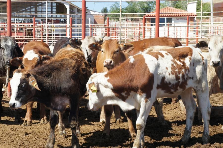 Inicia acuerdo de movilización de ganado de alto registro entre México y EEUU