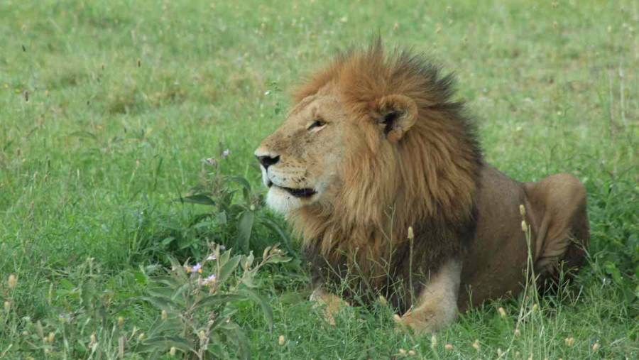 En una reserva natural de Tanzania, leones matan a 3 niños