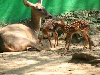 En el Desierto de los Leones nacieron 5 venados cola blanca