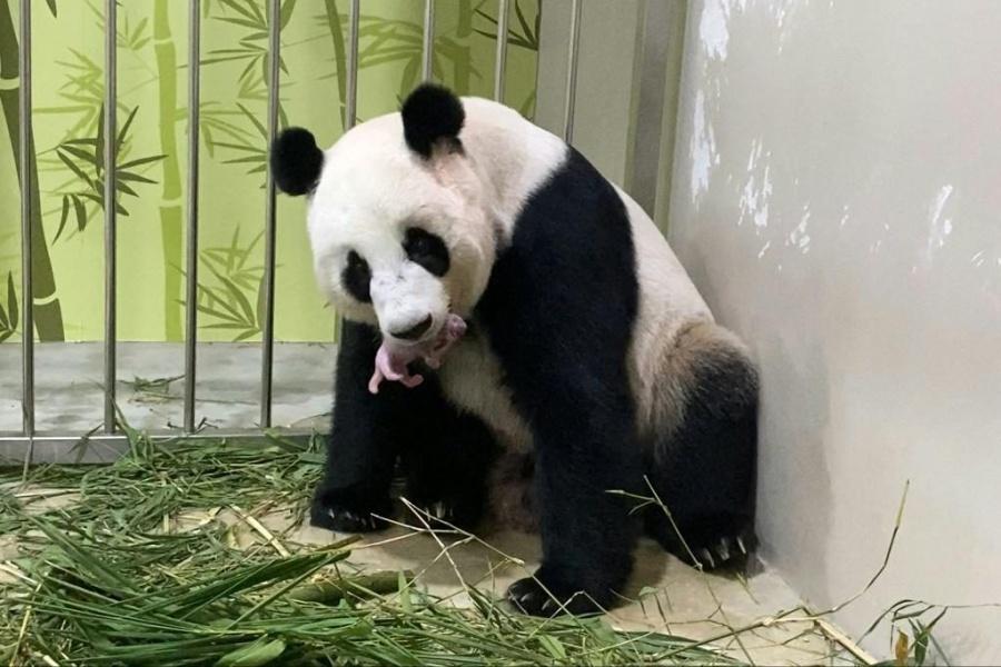 Por primera vez, nace panda en zoológico de Singapur