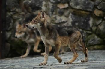 En el EdoMex nacen cachorros de lobo gris mexicano