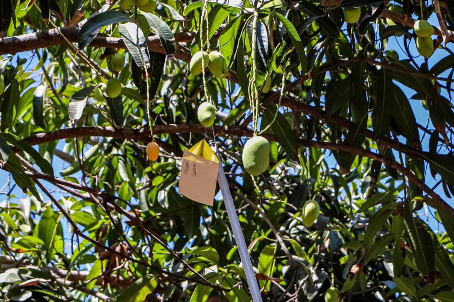 Agricultura busca erradicar en Colima brote de mosca del Mediterráneo